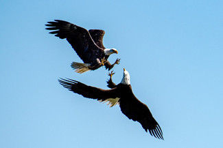 Bald Eagles Fighting Over Food