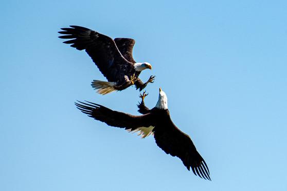 Bald Eagles fighting over food