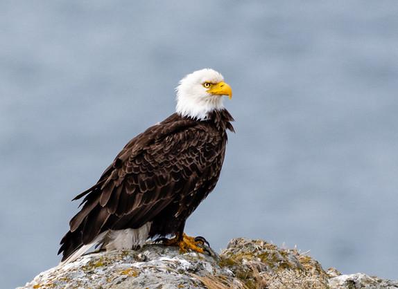 Bald Eagle Perched on a Boulder