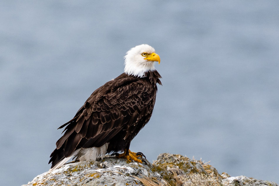 Bald Eagle Perched on a Boulder