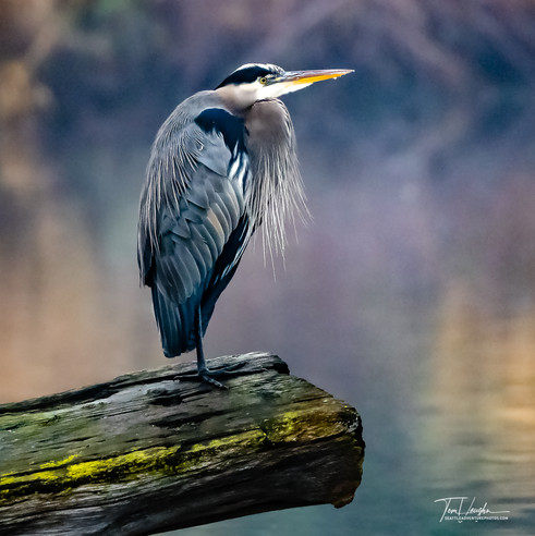Great Blue Heron in beautiful morning light