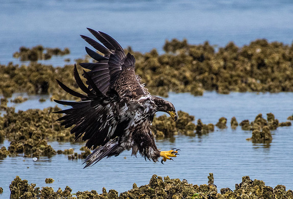 Juvenile Bald Eagle Coming in for a Landing