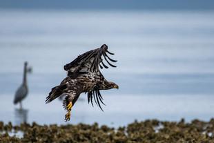 Juvenile Bald Eagle Taking Off