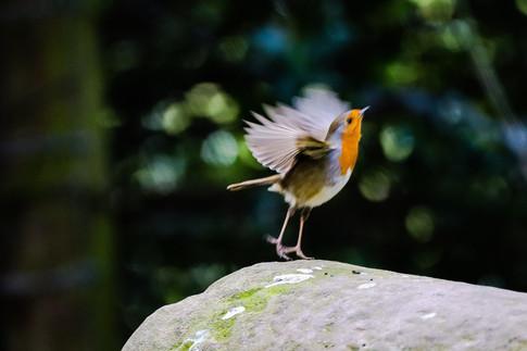 Jumping Robin