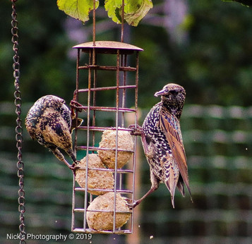 Starlings 2019