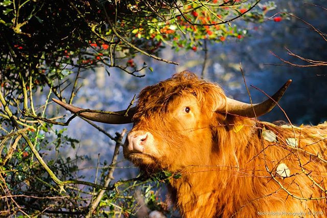 Highland Cattle - Spotted this in Yorksh