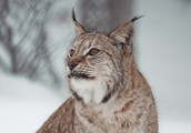 Norwegian%20Lynx%20ready%20to%20get%20fe