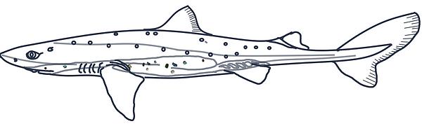 Coloriage de requin épineux avec du miroplastique
