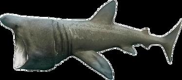 Desin de requin pèlerin