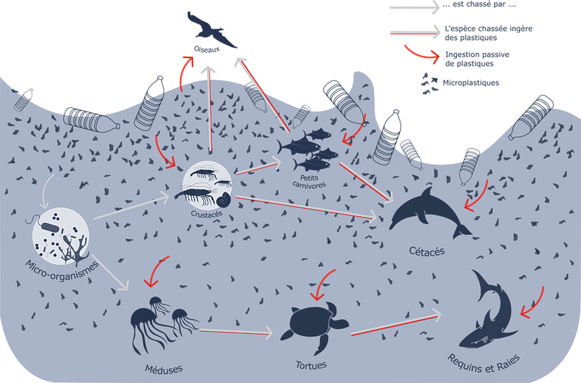 Schéma illustrant la chaîne alimentaire marine contaminée par la pollution plastique et le phénomène de bioaccumulation