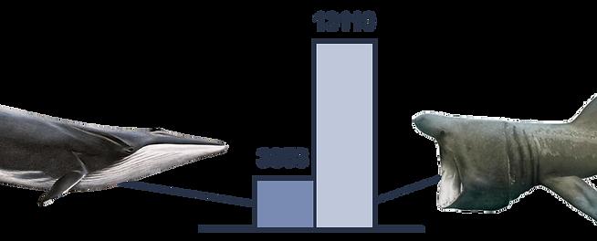 Graphique de comparaison de l'ingeston de micoplastique entre une baleine (rorqual commun) et un requin (requin pèlerin)