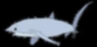 Requin renard.png