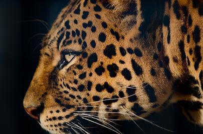 leopard-2873127_1920.jpg
