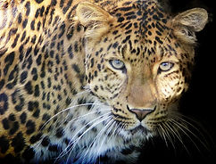 leopard-g674dd2ad1_1920.jpg