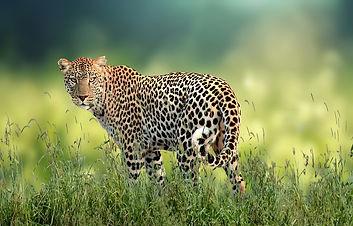 leopard-5852584_960_720.jpg