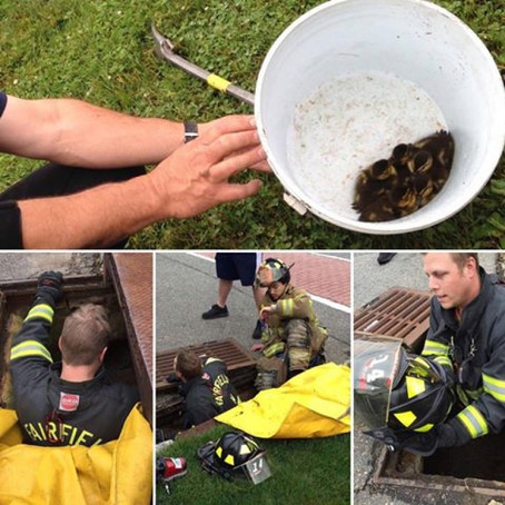 Ducklings Stuck In Storm Drain Saved By Firefighters & Police