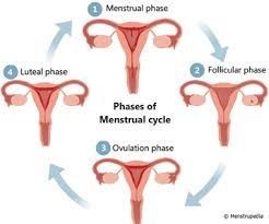 Info graphic of 4 uterus with ovaries, illustrating the phases of the menstrual cycle.