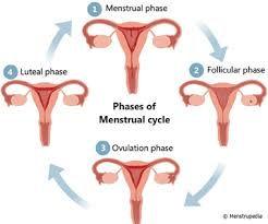 menses-cycle.jpg