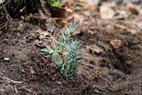 Frisch gepflanzte Weißtanne - jetzt hoffen wir auf ausreichend Niederschlag für ein gutes Anwachsen!