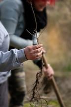 Heute pflanzen wir Vogelkirsche, Baumhasel und Traubeneiche.