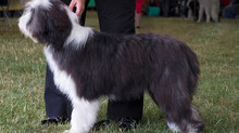 Kentra qualifies for Crufts 2019
