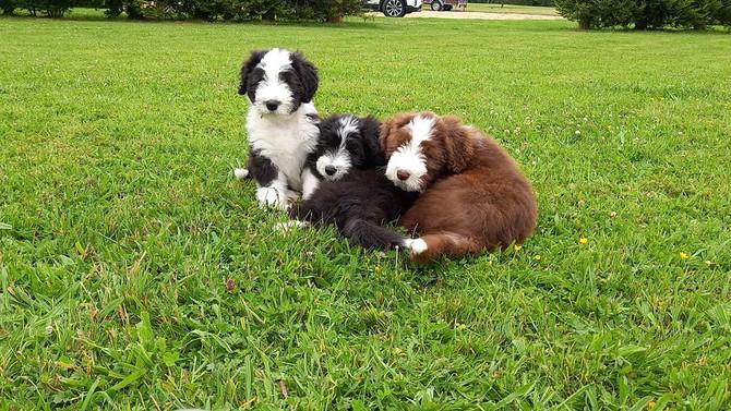 Debbeacol Puppies