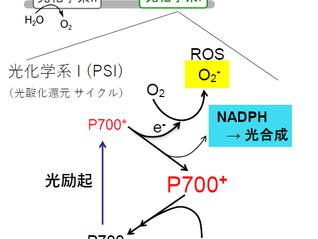 高等植物生葉で観測される光化学系I循環的電子伝達反応 (CEF, cyclic electron flow) の分子メカニズムおよびその誘導メカニズムを解明しました:P700酸化がもつ新規な生理機能の