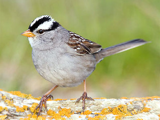 Falling in Love with Life (and the White Crowned Sparrow) All Over Again.