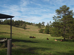 Cattle resting 45 Happy Jack Creek Rd
