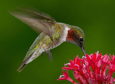 Stop Feeding Red Dye Nectar to Hummingbirds.