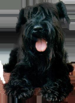 Scottie dog looking super happy!