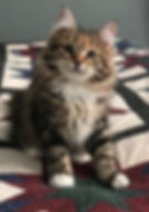 siberian kitten siberian cat forest cat russia hypoallergenic
