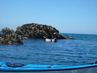 Seal in water blue kayak.jpg