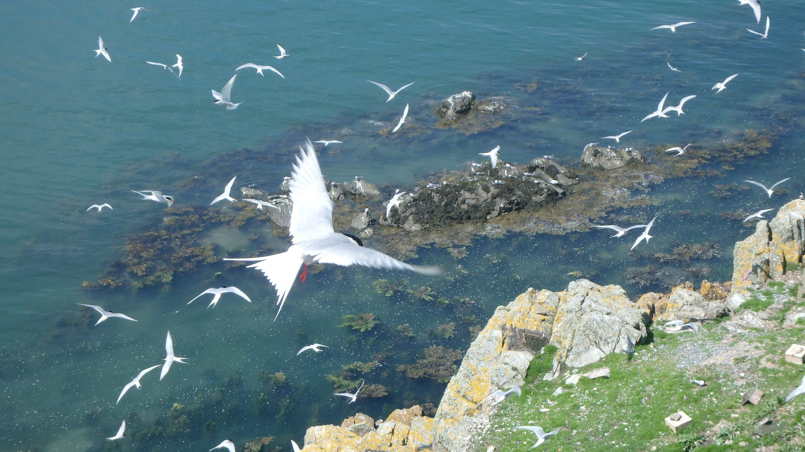 Arctic terns flying at The Skerries