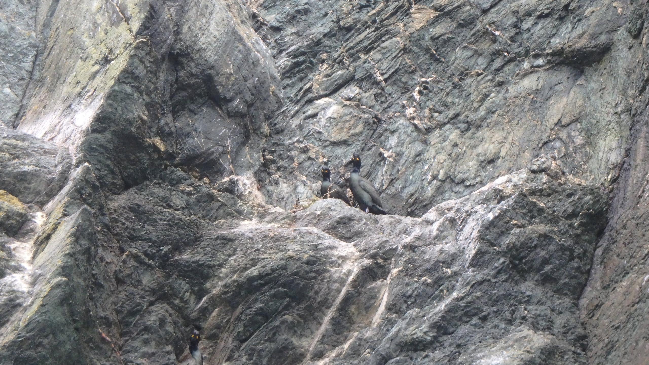 Phalocrocorax aristotelis