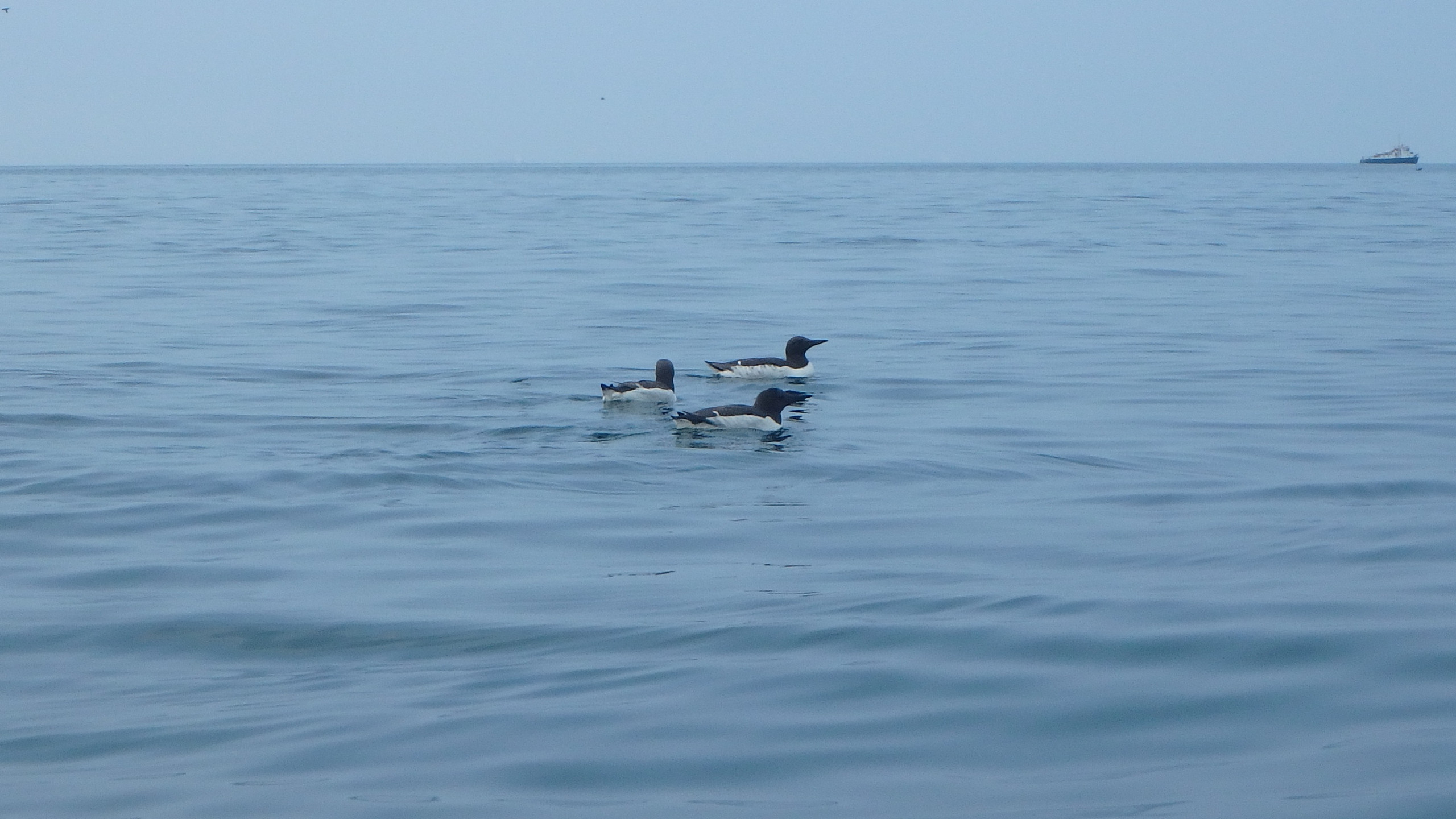 Guillemots on the water