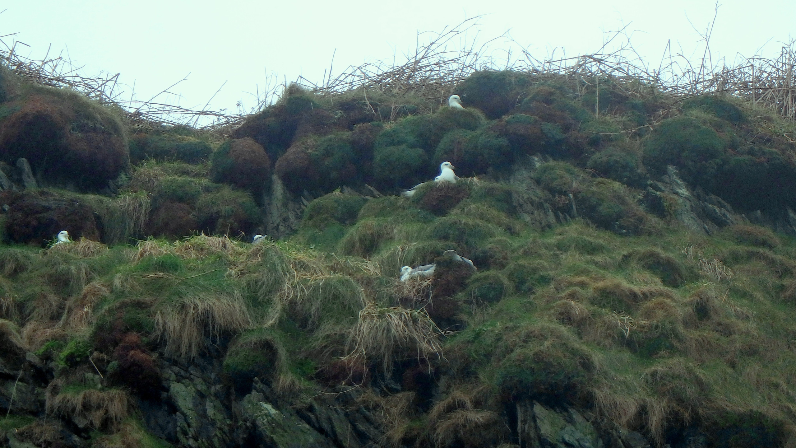 Fulmars on top of the cliff