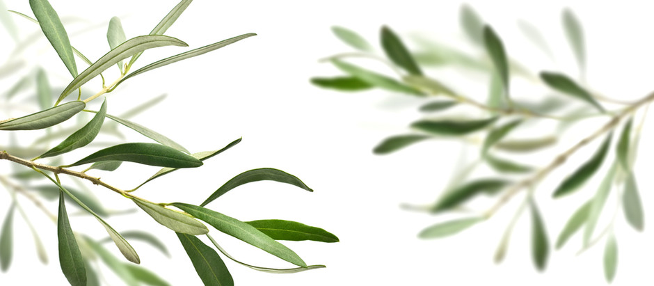 OLIVE LEAF – extending an Olive branch to good health