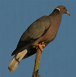 Upland Game Bird Hunting in California: Band-tailed Pigeon