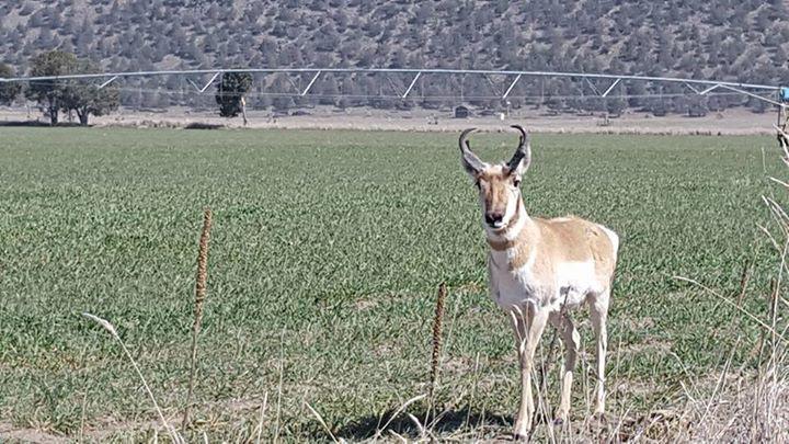 Elk and Antelope and Bighorn Sheep Hunting in California