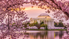 Washington DC is one of the best places in the world (outside of Japan), to see cherry blossoms. Many of the capital's parks and monuments are transformed into a riot of pink each spring when the delicate sakura blossom, creating a vibrant spectacle of gorgeous pink flowers.