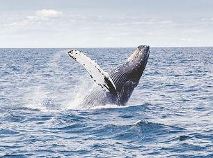 Humpback Whale, Mozabique