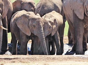 Elephants, Maputo Special Reserve
