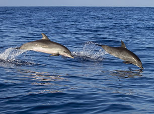 Dolphins, Mozambiqe