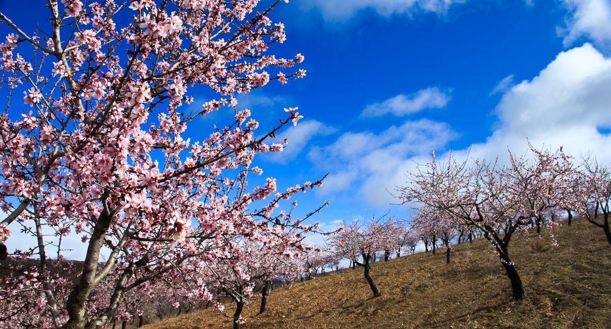 Las flores del almendro. Nieve rosa de las laderas de la Contraviesa