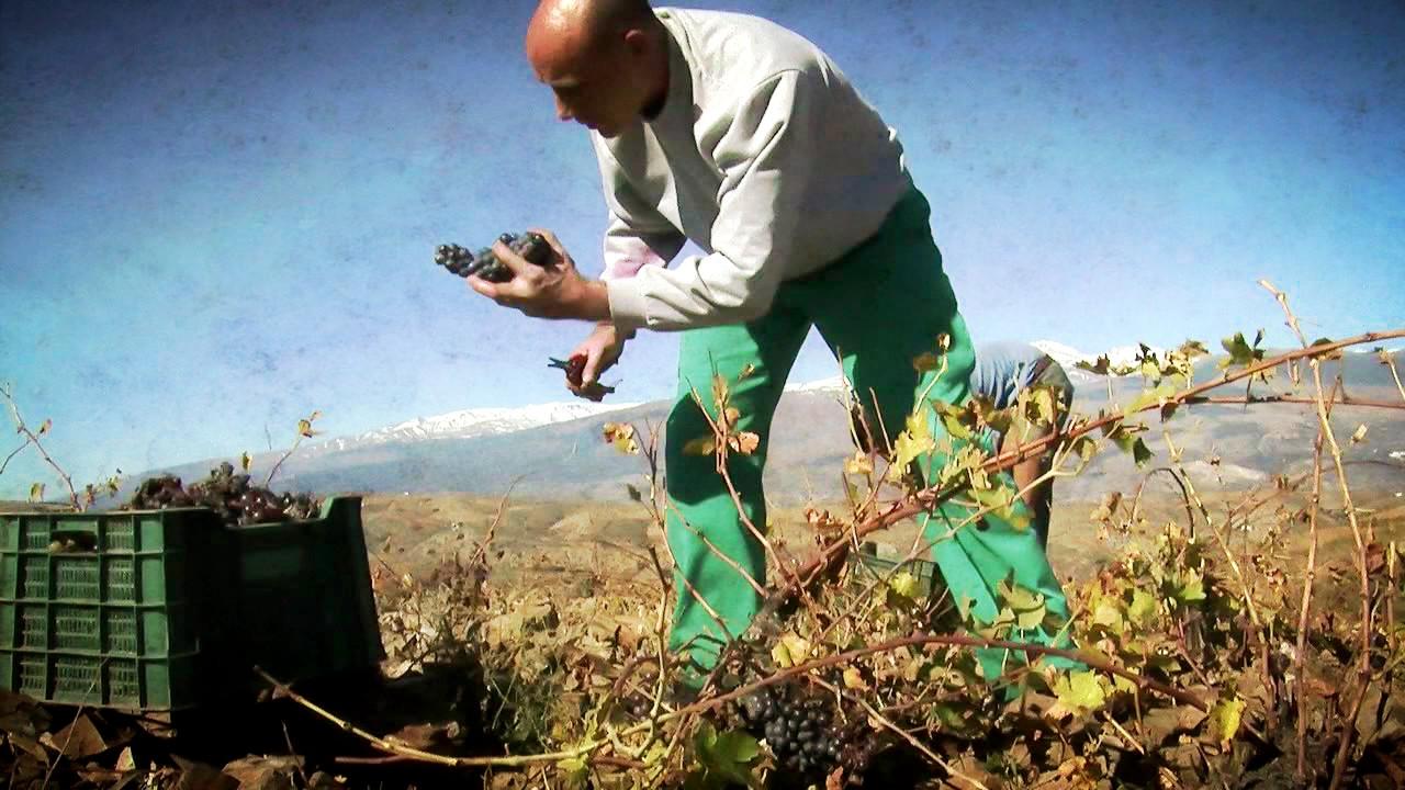Recolección en viñedos tradicionales a más de 1.200 metros de altura