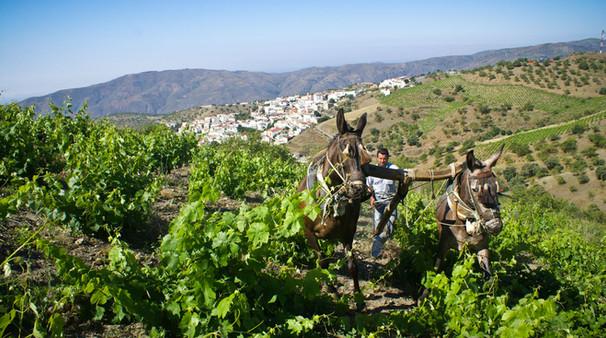 Albondón. Los viñedos forman parte del paisaje de muchos pueblos de la contraviesa