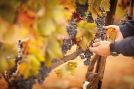 Disponemos más de 30 Ha. de viñedos propios