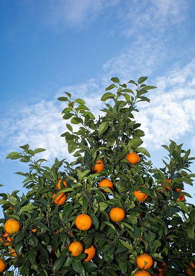 Siria-oranges-A3.jpg