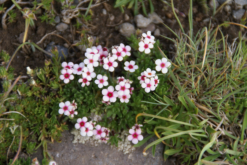 Blumen am Ararat